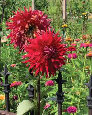 Dahlias and Zinnias growing majestically in the Sweet Life Garden.
